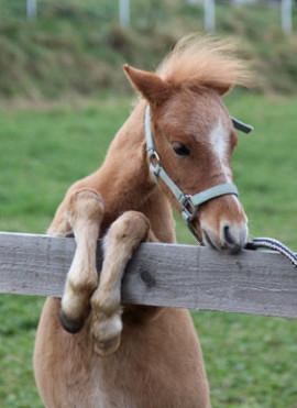 Miniaturpferd AMHA